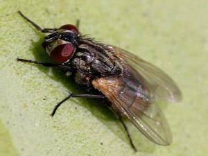 На что летят мухи