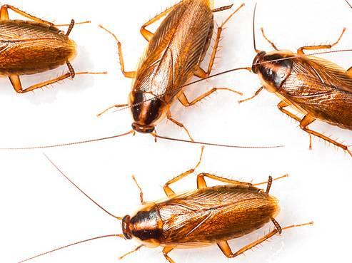 От чего появляются тараканы