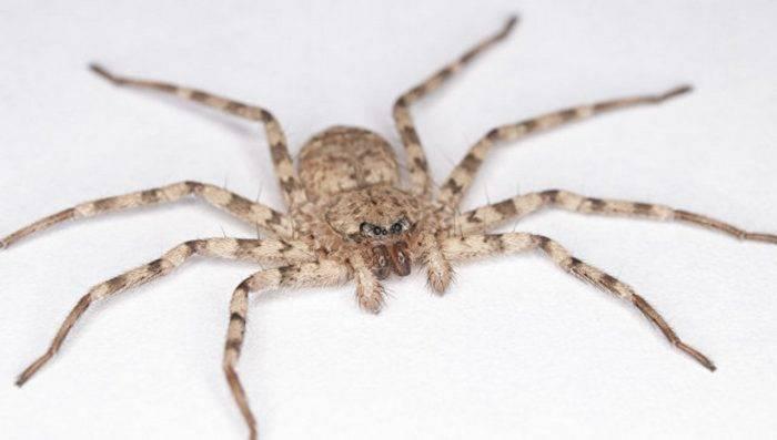 Черные пауки в доме