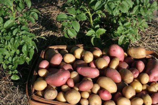 Как избавиться от моли картофельной