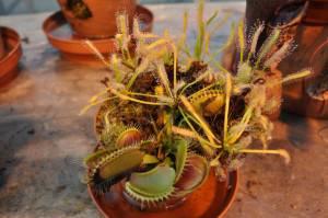 Мухолов растение