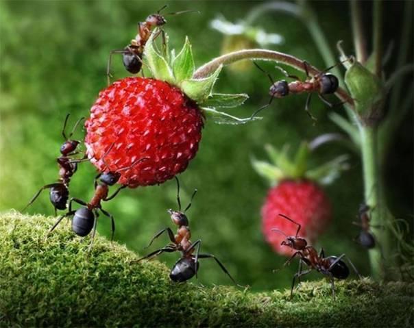Лакомство лесных муравьев