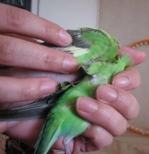 Есть ли у попугаев блохи