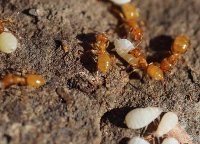 сколько видов муравьев