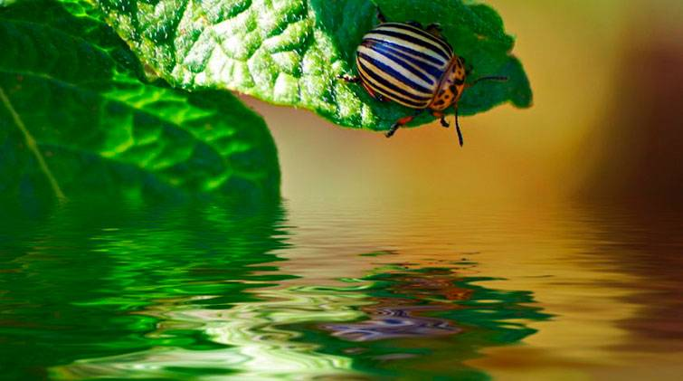 Откуда взялся колорадский жук