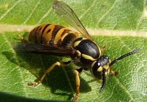 Помощь при укусе осы