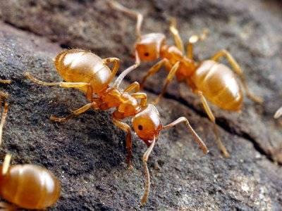 Желтые муравьи