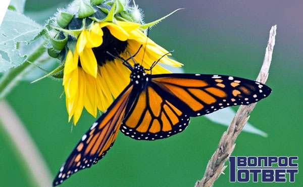 Что ест бабочка капустница