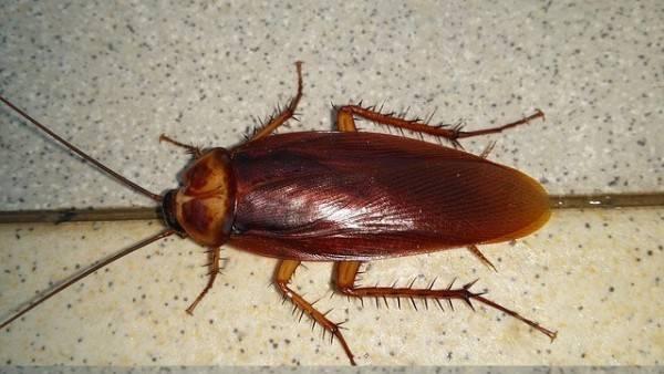 Рыжие тараканы в квартире как избавиться