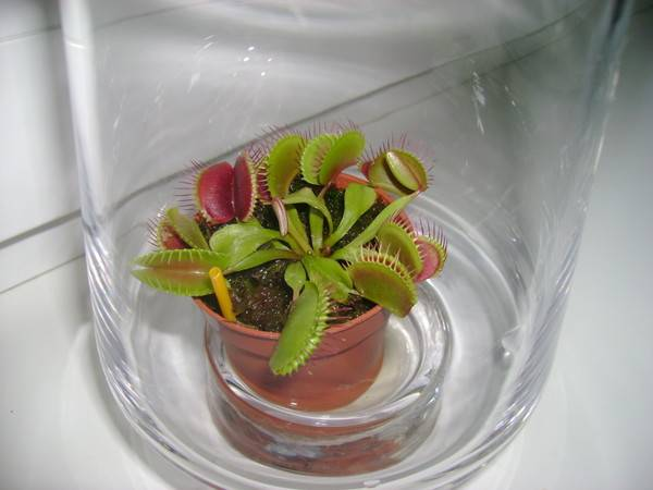 Растение ест мух