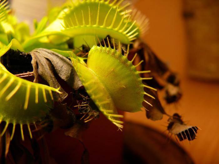 Цветы которые едят мух