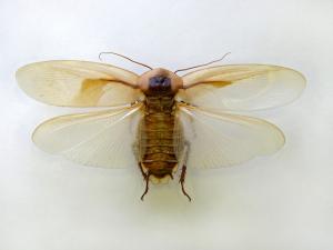 Есть ли крылья у тараканов