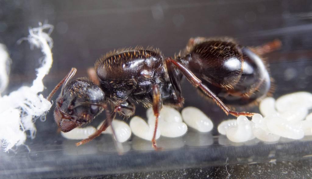 Матка домашних муравьев