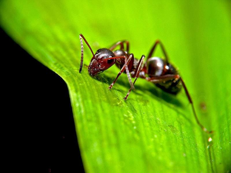 У лесных муравьев необычный способ размножения.