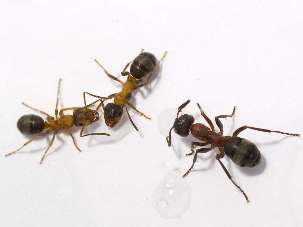 Лесные муравьи - хищные насекомые. Они поедают падаль или живых мошек, убивая их свои ядом.