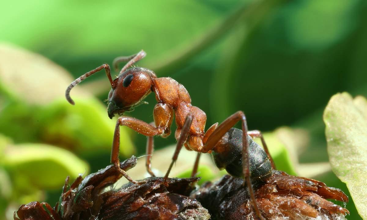 Рыжий лесной муравей - один из наиболее распространенных видов.