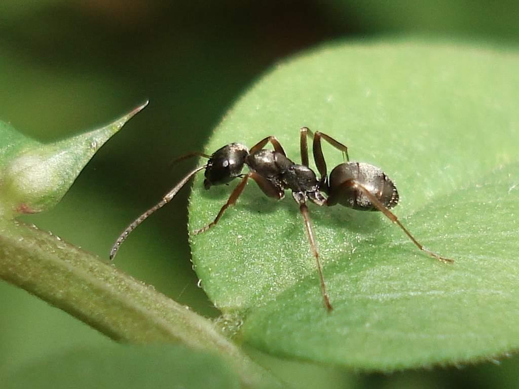 Черно-бурый лесной муравей (Formica fusca).