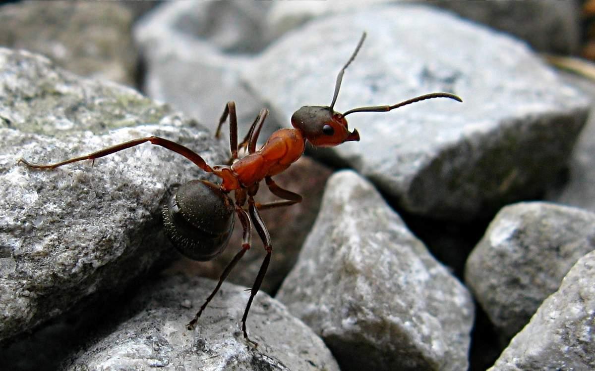 Муравьи уничтожают насекомых-вредителей, но нередко и сами становятся пищей более крупных хищников.