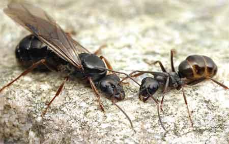 Бурый лесной муравей