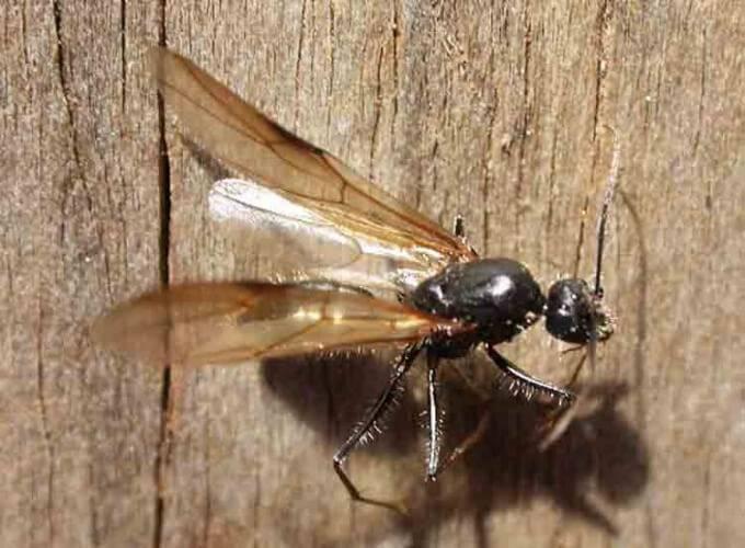 Самка муравья с крыльями