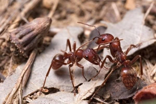 Большие черные муравьи на даче