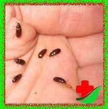 Лечебный жук знахарь