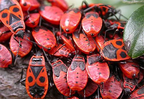 Чем питаются жуки солдатики