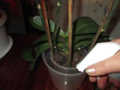 Паутина на орхидее фаленопсис что делать