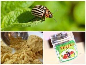 Горчица и уксус от колорадского жука