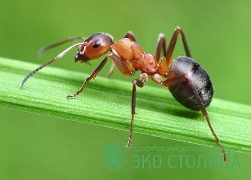 Борьба с рыжими муравьями