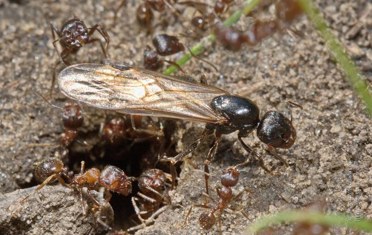 Как найти матку муравьев в квартире