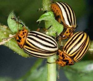 Средства борьбы с колорадским жуком