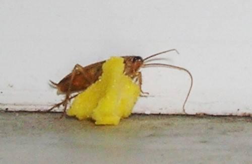Желток с борной кислотой против тараканов
