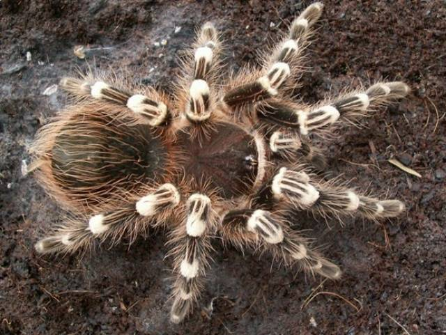 Самый крупный паук в мире
