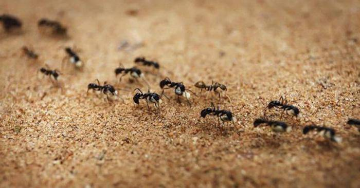Маленькие красные муравьи в квартире как избавиться