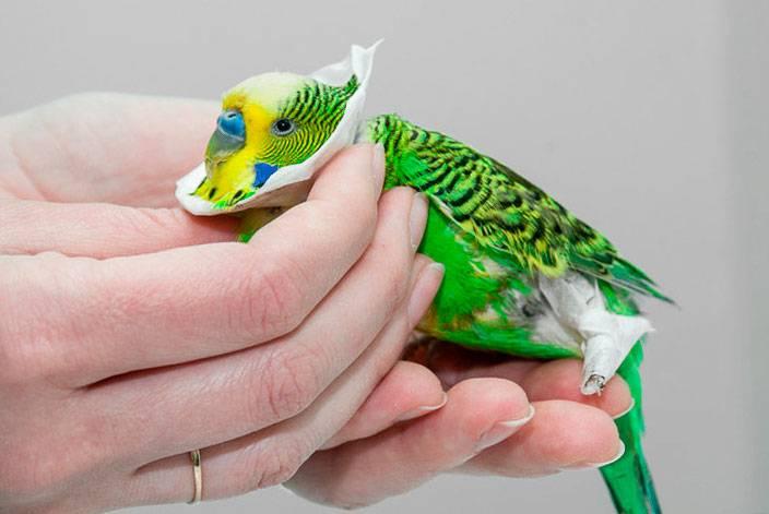 Чесоточный клещ у попугаев лечение