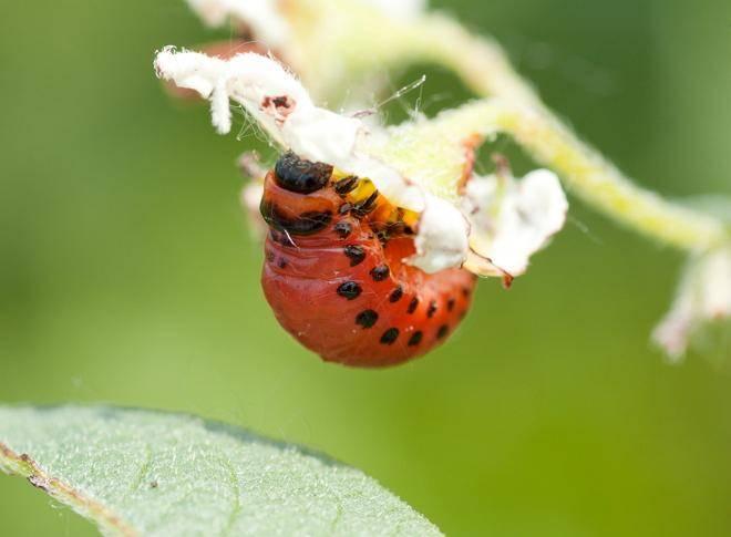 Как бороться с колорадским жуком без химии