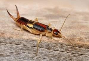 Щипалка насекомое