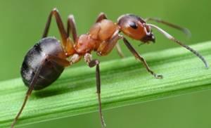 рыжий муравей ползёт по ветке