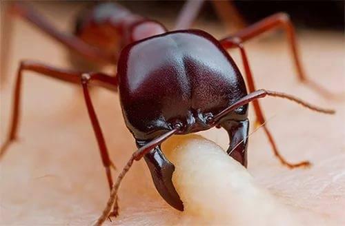как предотвратить укусы муравьев