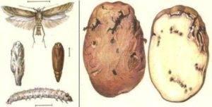 Картофельная муха борьба с ней