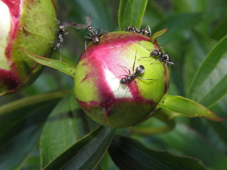 Средство от муравьев на огороде