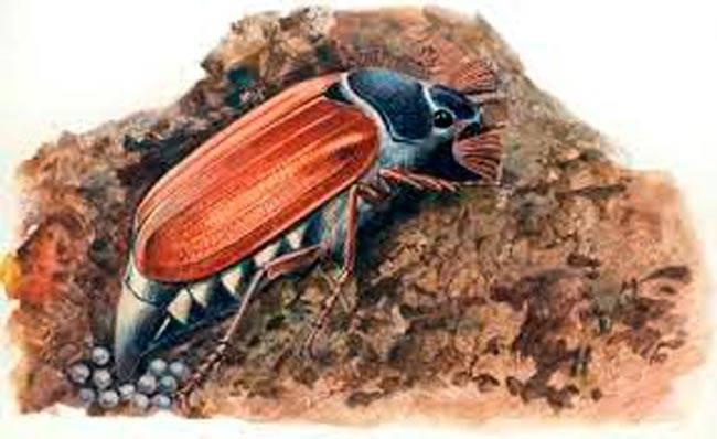 Майский жук хрущ