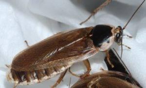 Тараканы с крыльями