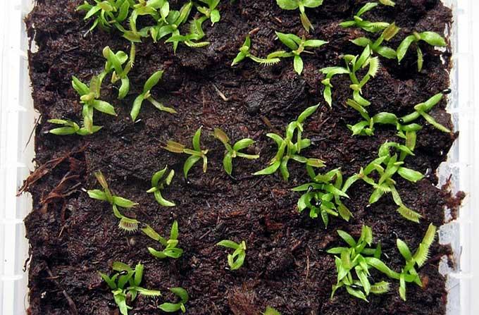 Растение поедающее мух