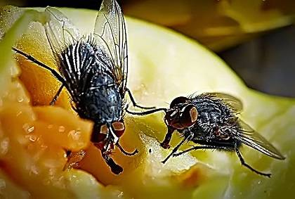 Откуда берутся мухи в квартире
