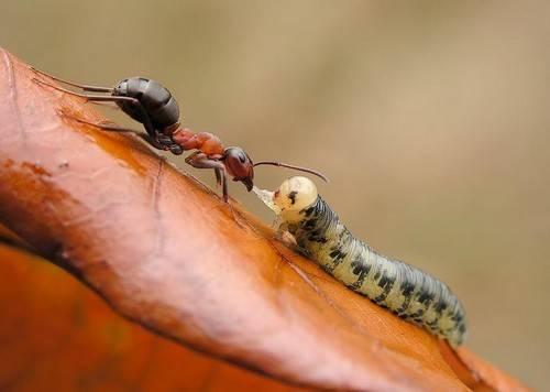 Муравей это насекомое или нет
