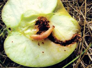 Как избавиться от плодожорки