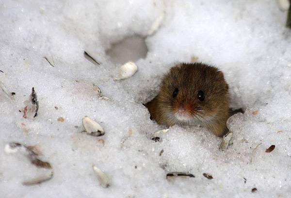 Немало клещей всю зиму проводят в норах мелких грызунов.