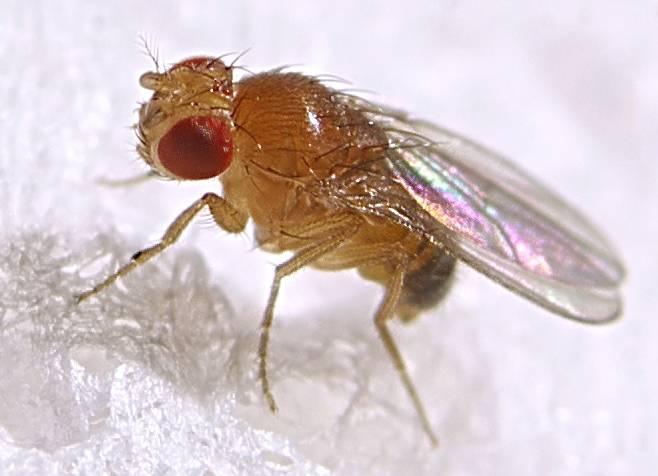 Сколько дней живут мухи
